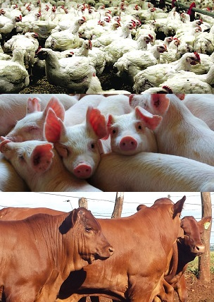 carnes frango boi porco